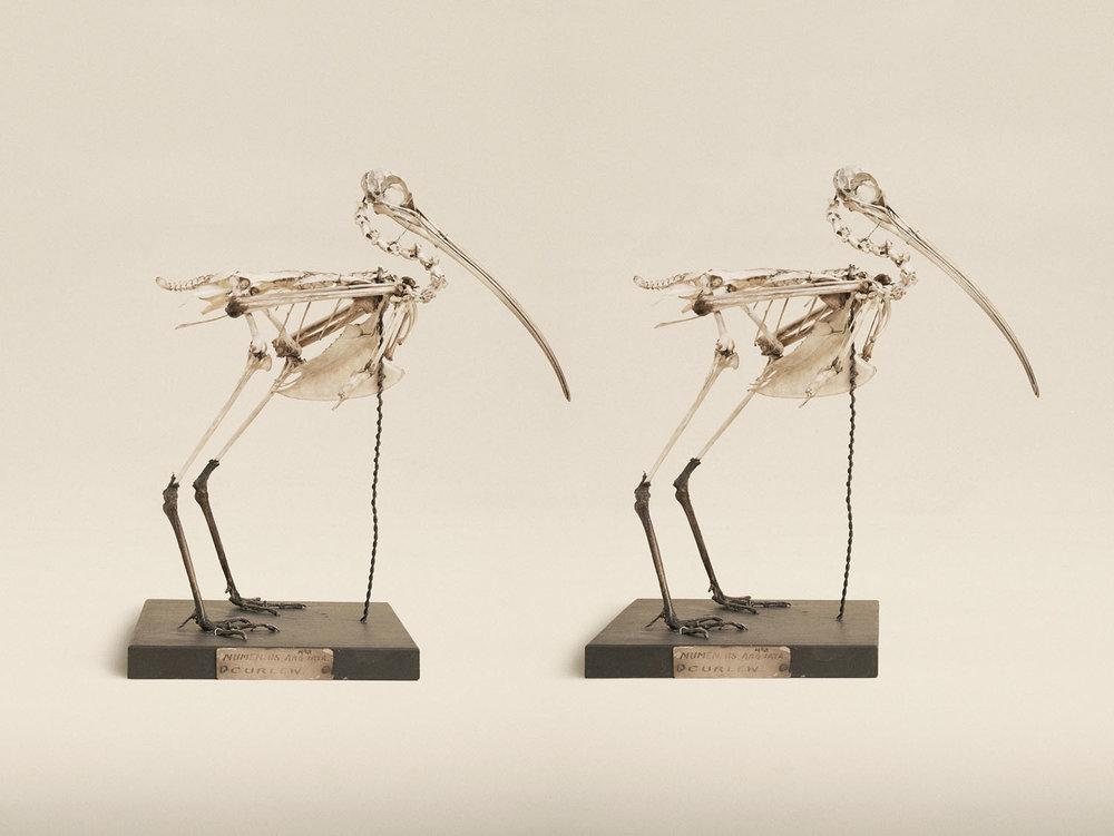Eurasian Curlew (Numenius Arquata), (2014)