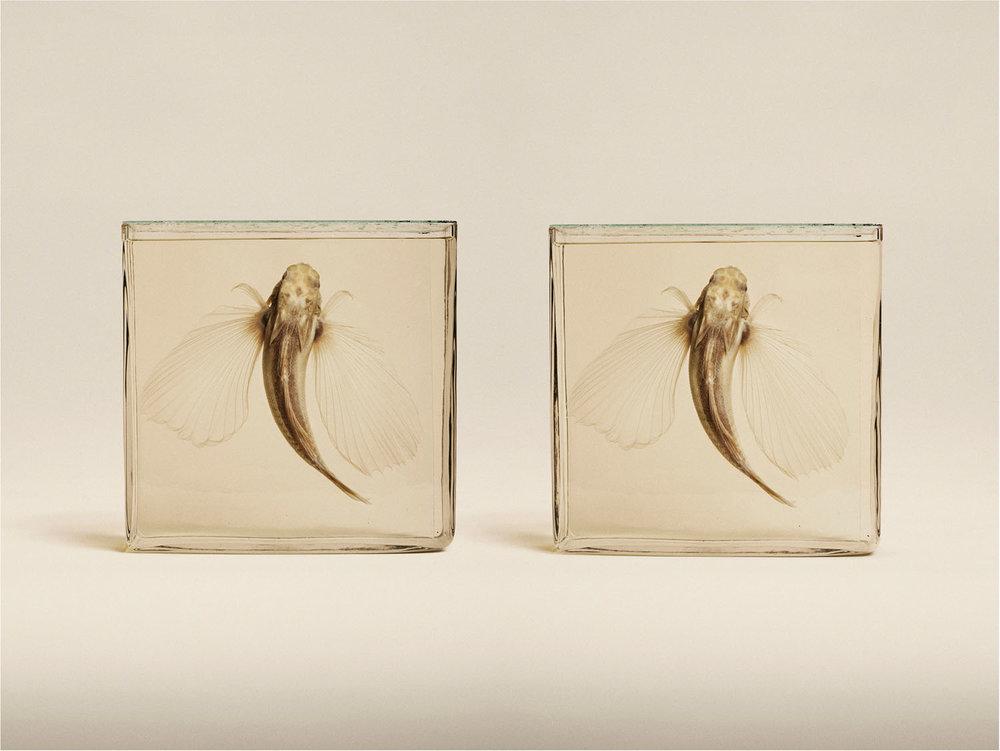 Flying Gurnard (Dactloptena Orientalis), (2014)