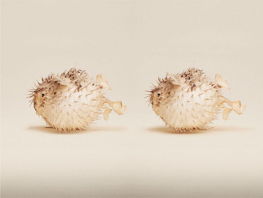 Porcupine Fish (Diodon Nicthremerus), (2014)