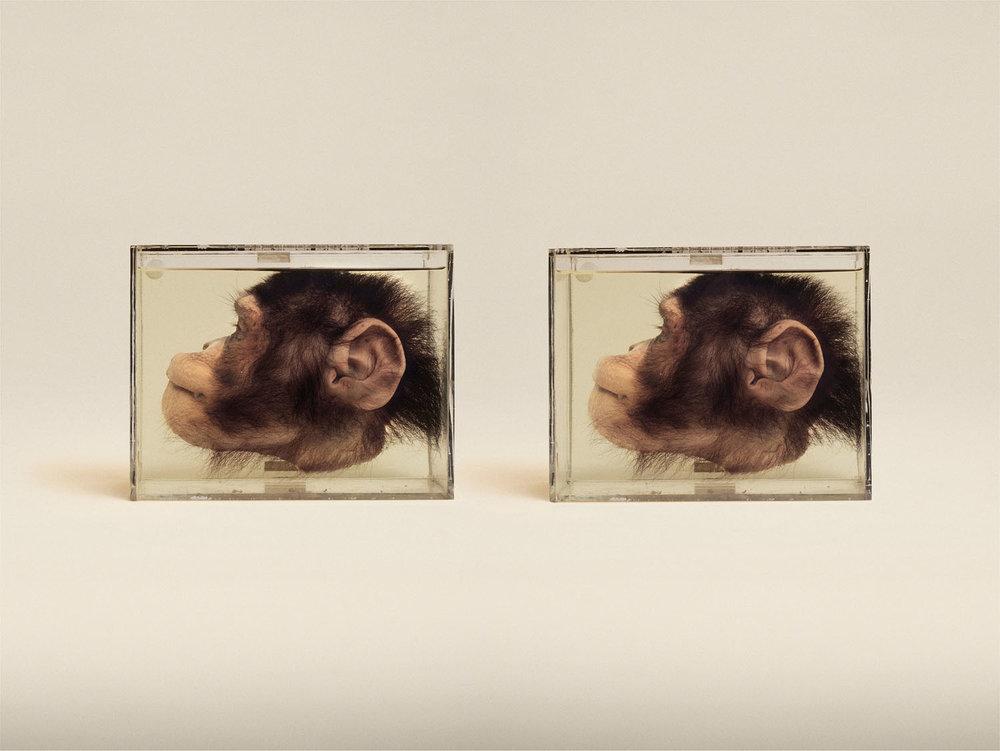 Chimpanzee (Pan Troglodytes), (2014)