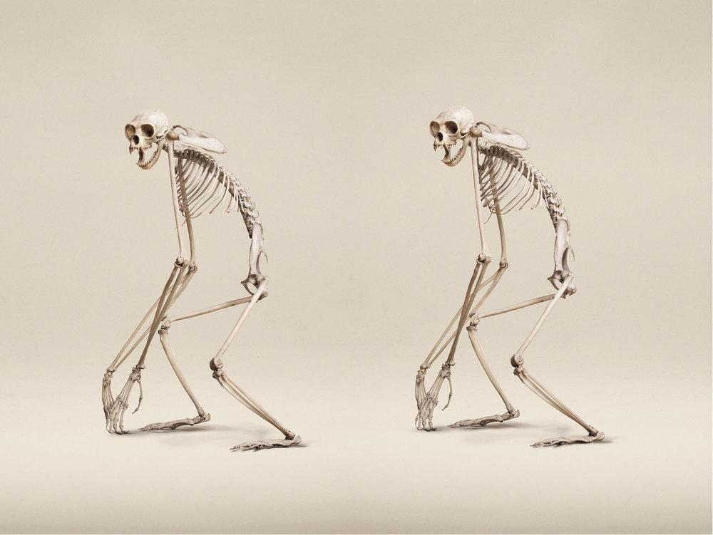 Lar Gibbon (Hylobates Lar), (2014)