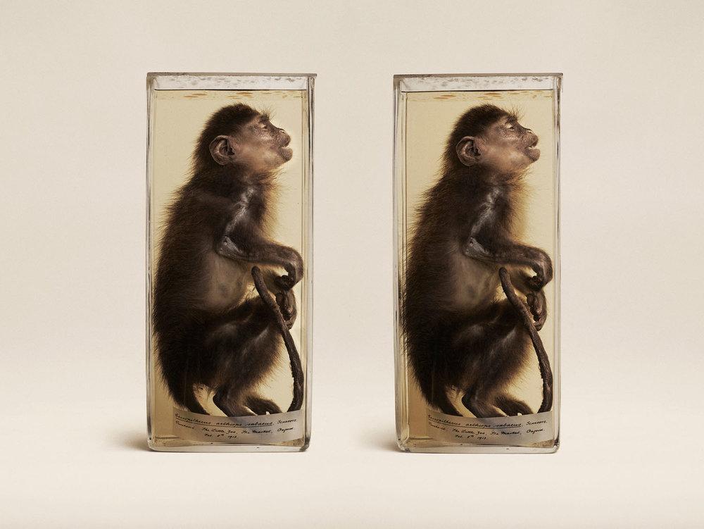 Green Monkey (Chlorocebus Sabaeus), (2014)