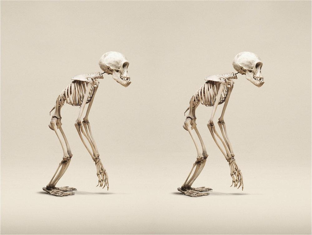 Juvenile Chimpanzee (Pan Troglodytes), (2014)