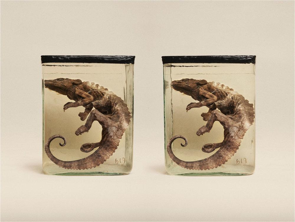 Common Chameleon (Chameleo Chameleon), (2014)