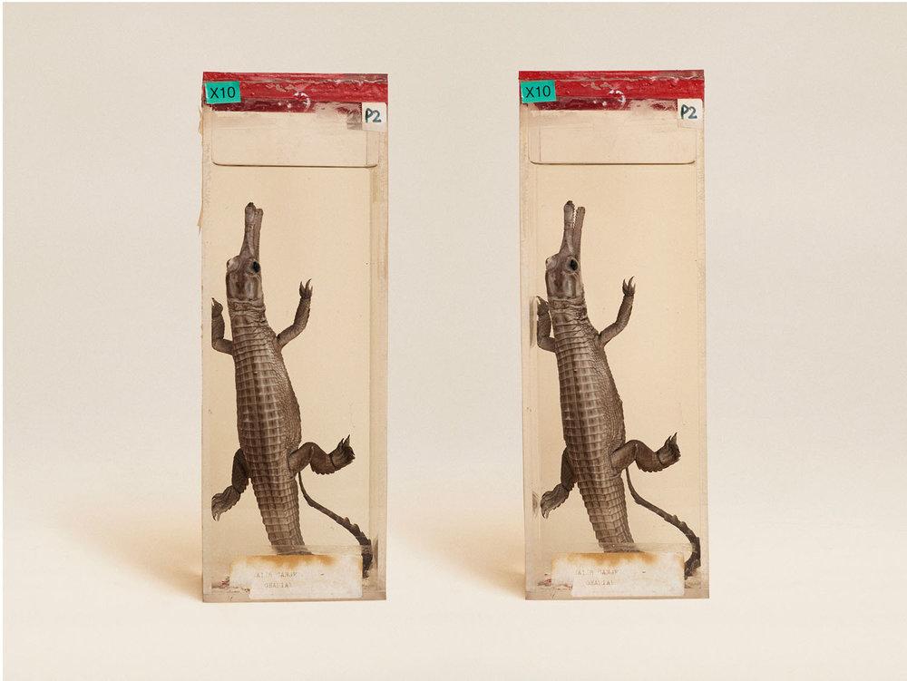 Gavial Crocodile (Gavialis Gangeticus), (2014)