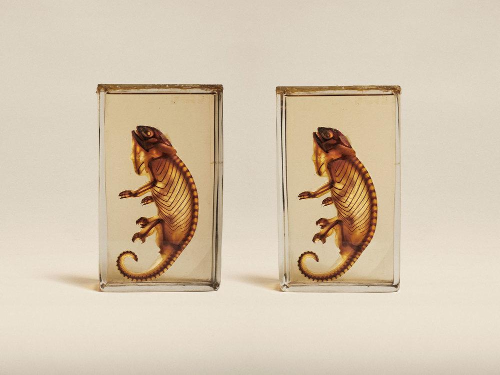 Transparent Chameleon (Chameleo Chameleon), (2014)