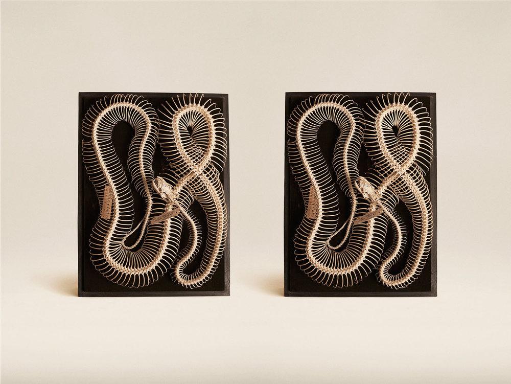 Diamond Python (Morellia Spilota), (2014)