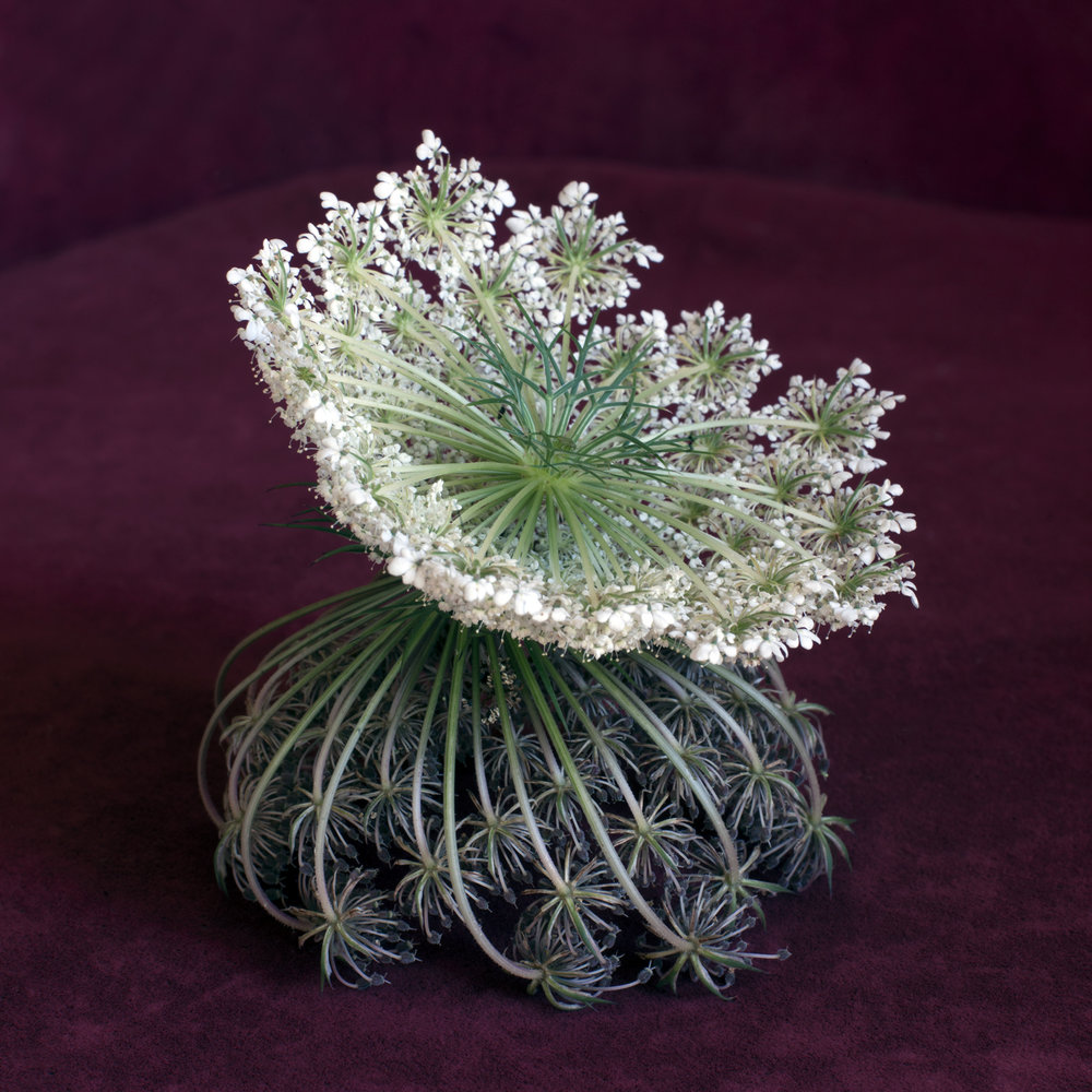 Wild Flower Arrangement No. 6, Daucus Carota (2015)