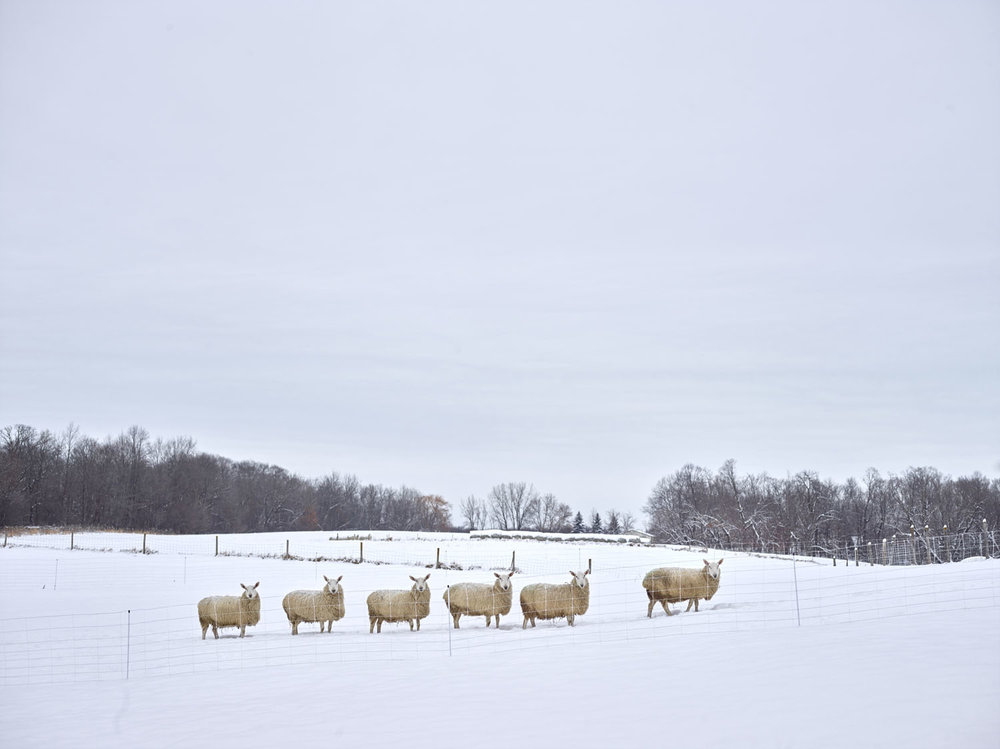 COUNTING SHEEP, HENNEPIN COUNTY, MINNESOTA, USA (2017)