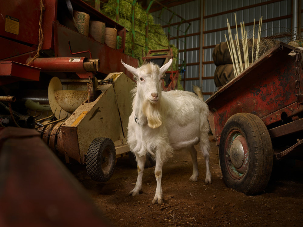 CZECH GOAT, STEARNS COUNTY, MINNESOTA (2016)