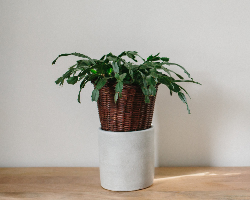 This is what one of mine looked like for a while. I wanted to put this plant in a pot that I loved, one that I'd really enjoy in my space. It sat like this in my room for a good month before I got around to actually doing it.