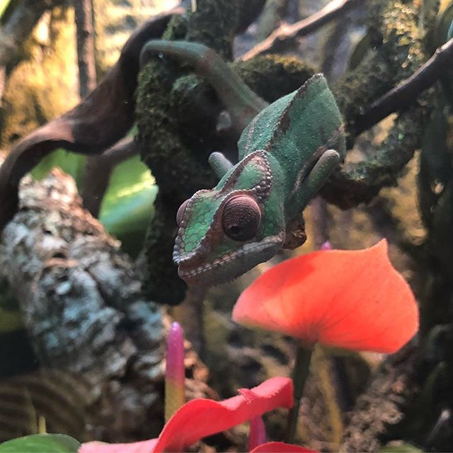 Hunting for breakfast 🦗🦖 . . . #pantherchameleon #chameleon #Furciferpardalis #nosymitsio #reptile #chameleonsofinstagram #exoterra