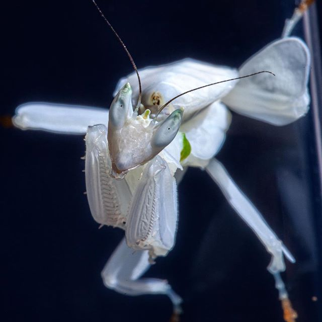 My first Orchid mantis (Hymenopus coronatus) is eating and shedding well. She (hopefully, as I am seeing green markings,less abdomen segments and a forehead crown) was well behaved while having her photo taken :) . . . #orchidmantis #hymenopuscoronatus #prayingmantis #mantis #mantid #insect #orchid #macro #macrophotography
