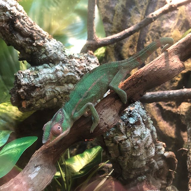 Meet Orbit ! Our new Panther Chameleon 😃 swipe for more pics and to see that toungue and colour change while asleep. #pantherchameleon #chameleon #Furciferpardalis #nosymitsio #reptile #chameleonsofinstagram #exoterra
