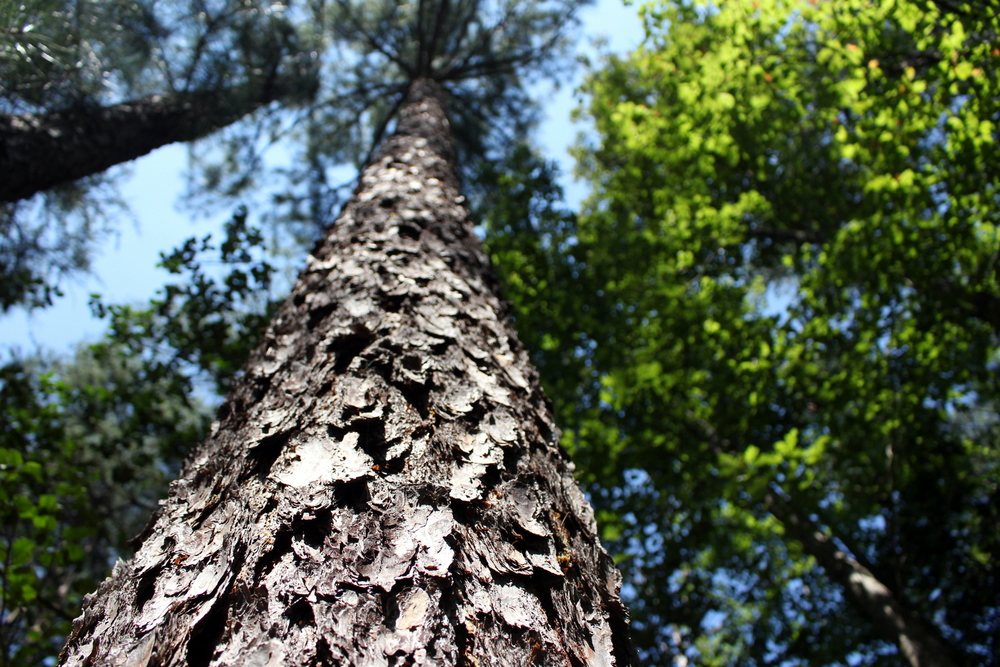 Looking up a tree trunk.