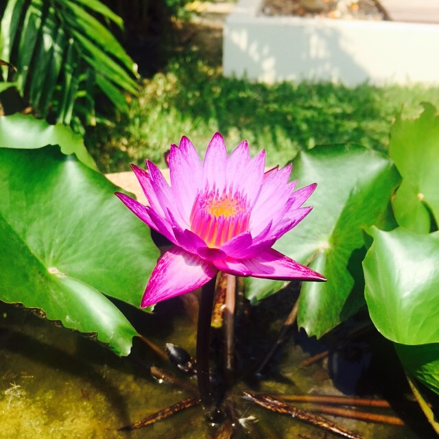 Lotus flower I saw in Bangkok. 2015.