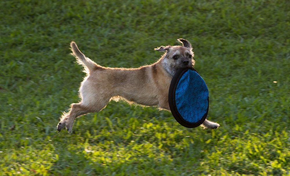 Coco run w frisbee.jpg