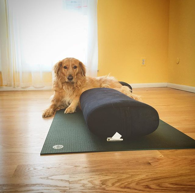 Sophie would like to let you know that we will be exploring lots of prop-supported hip openers in Yin Yoga + Mindfulness tomorrow (Monday) from 1:30-2:30pm at the @littleyogastudio for just $10. This is a wonderful class for all levels and bodies, from total beginners to decade-long practitioners, from the healthy to the chronically ill. You are welcome here. ✨✨ #yogawithmaggie