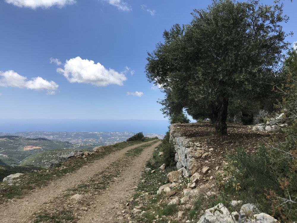 Olive trees (I think)