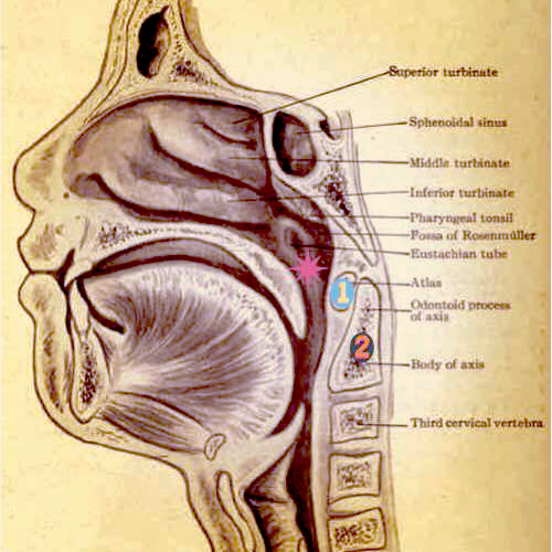 1) C1 (Atlas) meeting your skull   2) C2 (Axis)   *)Eustachian Tubes
