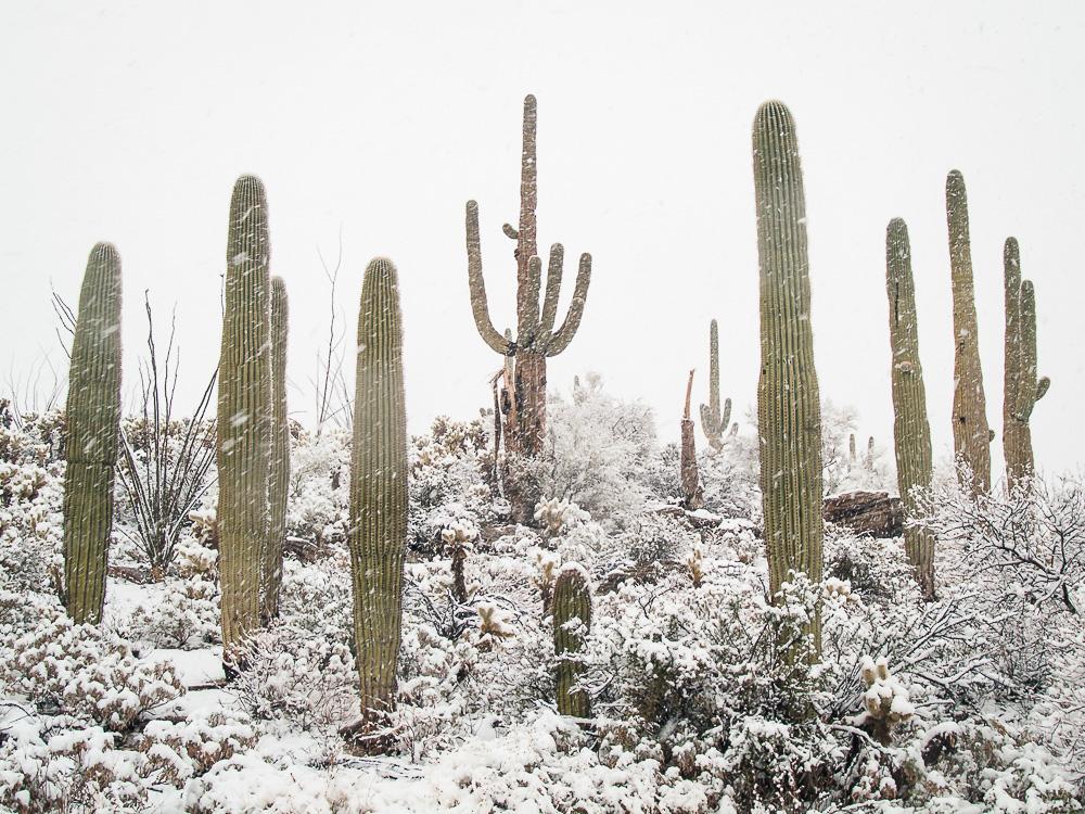 Winter Saguaros