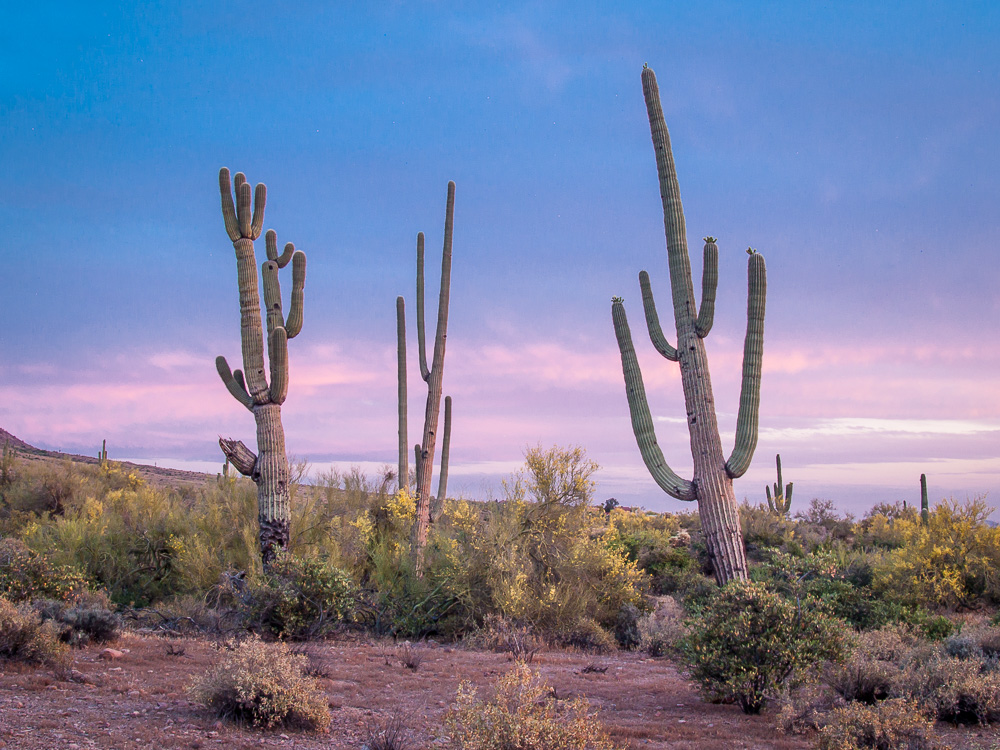 Lost Dutchman Saguaros