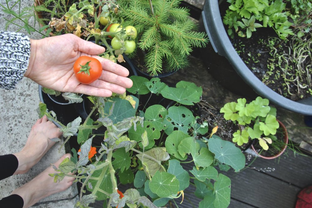 Tomato Plant Yearling