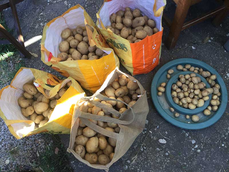 Part of the potato haul. Now to the kitchen!