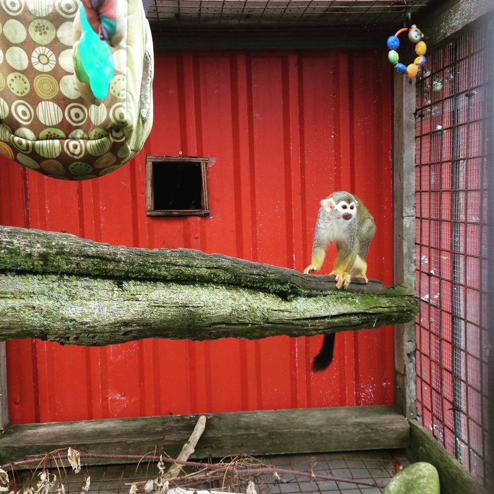 squirrel monkey primate science sanctuary