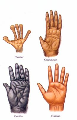 Primate Hands
