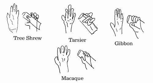 Primate Prehensile hands