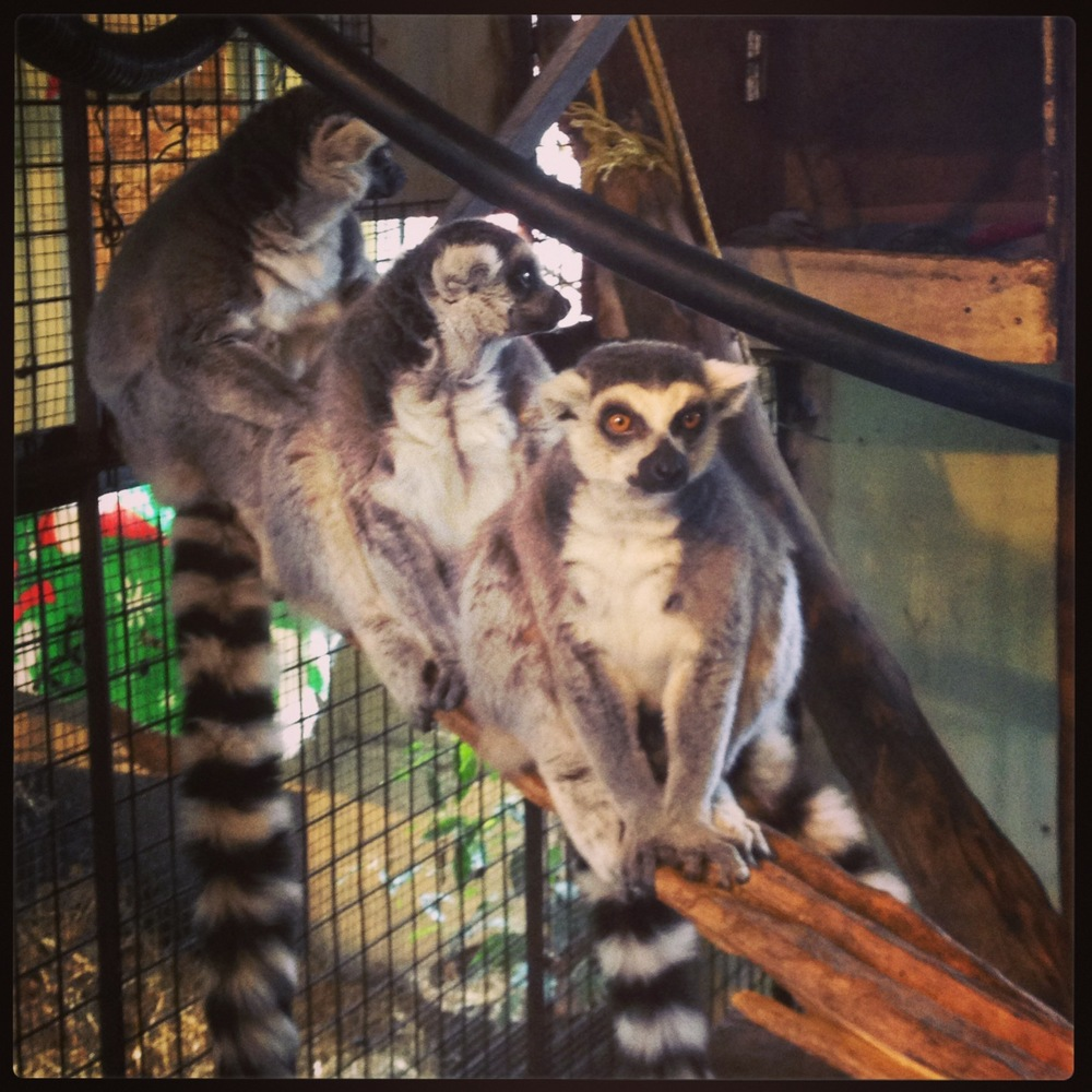 Ring tailed Lemur Males