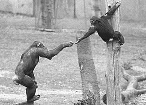 Chimpanzees helping each other