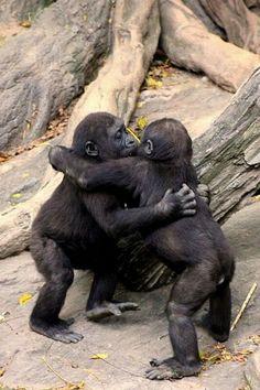 Gorillas hugging