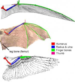 Convergent evolution of wings in birds and bats