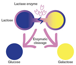 Evolution of the lactase enzyme breaks down lactose so we can digest it