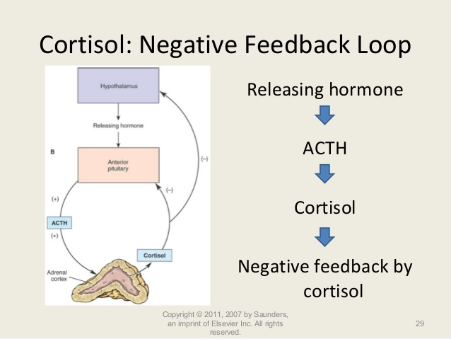 cortisol negative feedback loop
