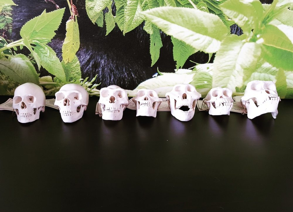 Humanand primate skulls