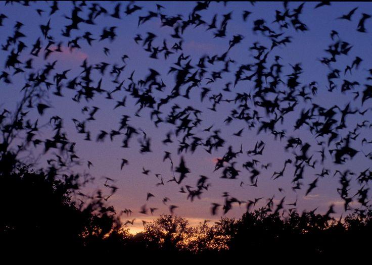 batsflying
