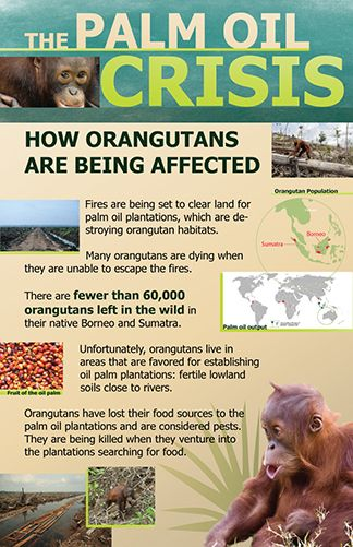 orangutanspalmoil