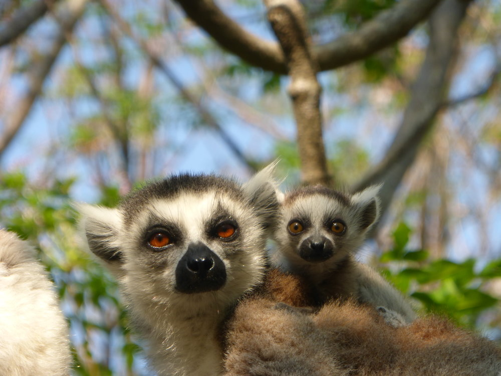 Mama and baby ringtailed lemurs