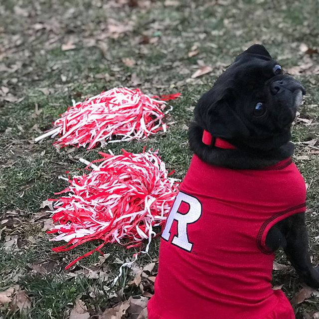 I think my pug, Mrs. Carter, makes an excellent cheerleader for @RUNafam, her favorite cause for #RUGivingDay cc: @RutgersNCAS #dogsofinstagram #pugsofinstagram