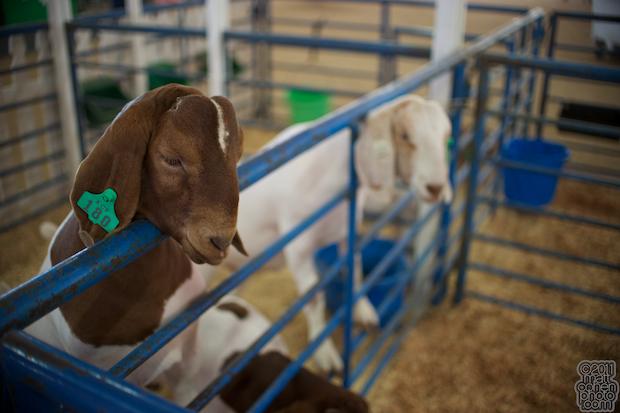 Goats - 2011 Alameda County Fair