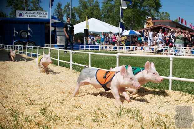 Alaskan Racing Pigs - 2011 Alameda County Fair