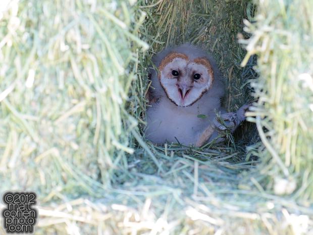Barn Owl - 2012 Reno Rodeo