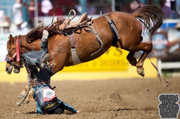 Saddle bronc rider Rusty Wright of Milford, UT gets bucked off Twisted Sister at the Red Bluff Round-Up at the Tehama District Fairgrounds in Red Bluff, CA.