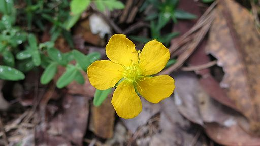 "St John's Wort ""made sad people see the colours again"". Pic  John Tann"