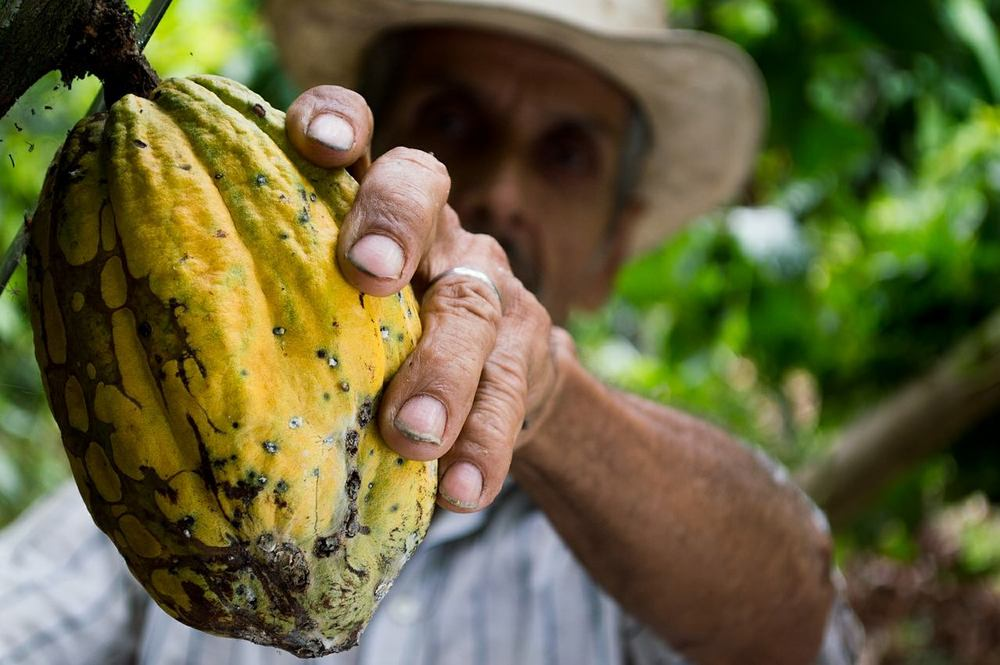 """A slice about the size of a man's finger,"" Agriculturalist picking cacao. Photo by  Elias Falla ."
