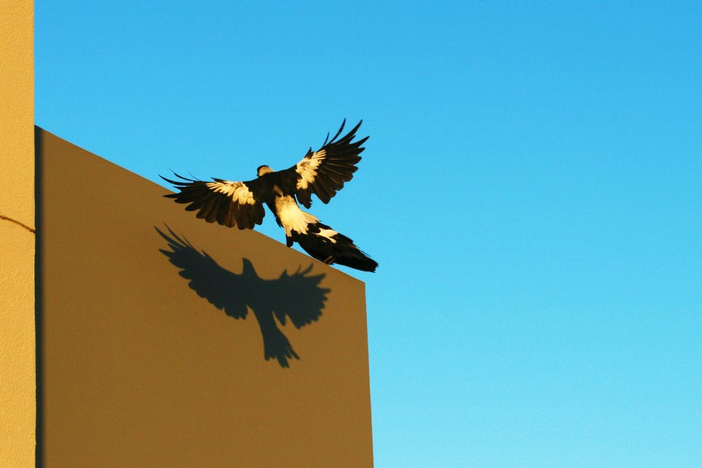 Magpie and its shadow. Photo by  Darius K .