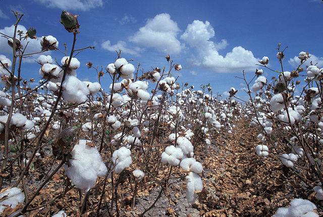 Cotton is notorious as a soil-depleting cash crop. Photo by  USDA .